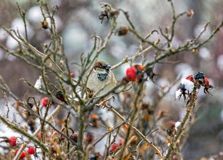 楕円形の赤い果実に恵まれた冬のワイルド ローズの葉のない木の枝の上に座ってスズメ 写真素材