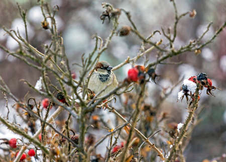 Sparrow sitting on leafless twigs of wild rose in winter surounded by oval red fruits photo