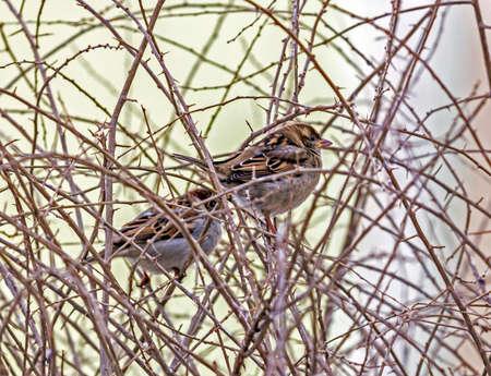 amids とげのある葉のない枝を冬に座っている 2 つのスズメ