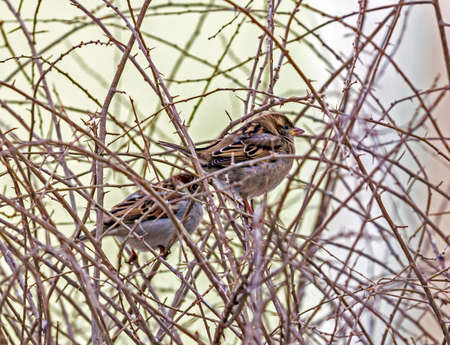 two sparrows sitting amids thorny leafless twigs in winter photo