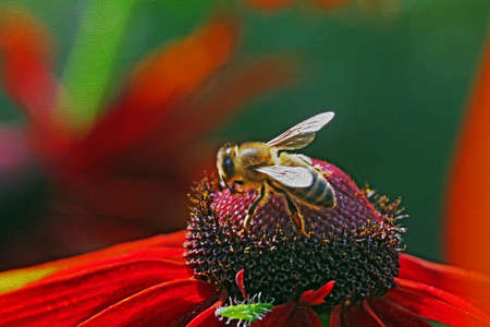 filtered: macro photo of a bee covered with pollen on a beautiful violet and yellow  rudbeckia flower viewed from side,  stylized and filtered to resemble an oil painting