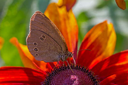 Maculinea teleius butterfly, inachis io, drinking nectar from orange rudbeckia flower with other brudbeckia flowers and blurred butterflies in background,  stylized and filtered to resemble an oil painting