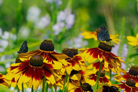 inachis: dark peakock butterflies, inachis io on a field of rudbeckia flowers,  stylized and filtered to resemble an oil painting