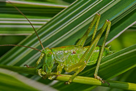 painting and stylized: Macro photo of a green grasshopper feeding on a blade of green grass with other green  blades in background,  stylized and filtered to resemble an oil painting Stock Photo
