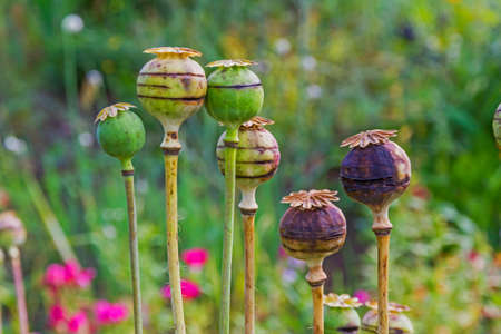 close up photo of poppy heads in the garden with blurred, colorful flowers in background,  stylized and filtered to resemble an oil painting
