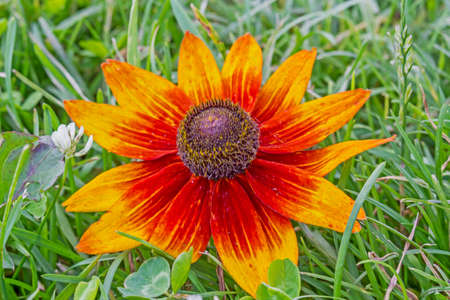 painting and stylized: photo of rudbeckia dark and orange flower with blurred ggreen grass in background,  stylized and filtered to resemble an oil painting