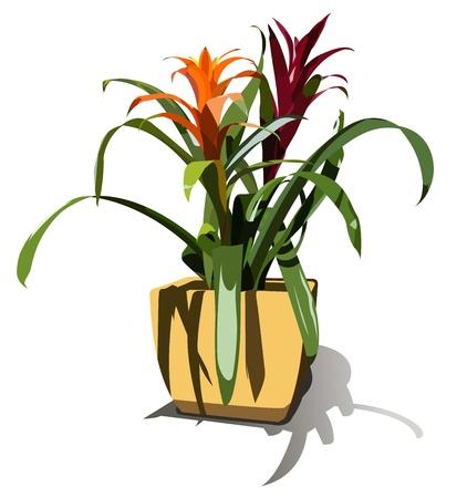 Red and orange Guzmania flowers in a flowerpot