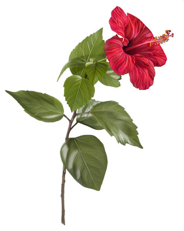 Painting of red flower on white background - Hibiscus Hand drawing photo