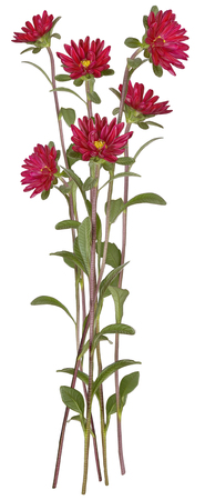 aster: Drawing of Red Aster flower isolated on white background