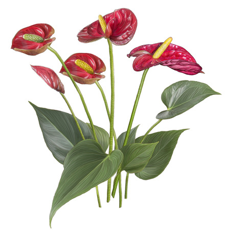 Drawing of Red Anthurium flower isolated on white background