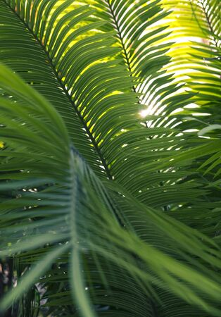 Green leaves of palm tree with sun light break through in the background