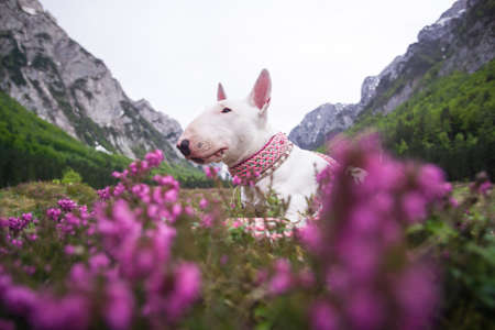 A dog in the mountains. Bull terrier with mountains and peaks, nature and travel with a dog. Holiday in national park