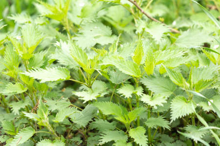 Stinging nettle leaves as background growing in the wild. Beautiful texture of nettle. Healthy food for detox Imagens