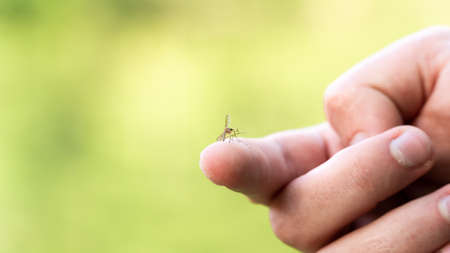 one mosquito sits on the hand, pierces the skin and sucks human blood. Causes the disease malaria. Mosquitoes are dangerous carriers of diseases
