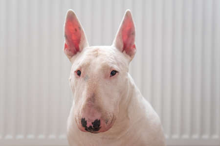 Portrait photo of white bull terrier with white background