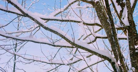Snow falling from tree branches on a bright sunny winter morning. 4k resolution Reklamní fotografie