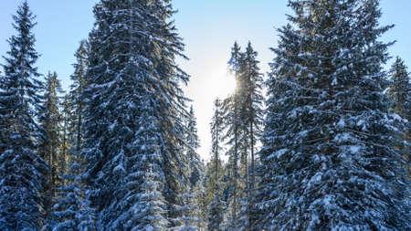 Winter forest of spruces tree in sunlight. Calm wintry morning scene with fresh snow at Pokljuka, Slovenia Reklamní fotografie