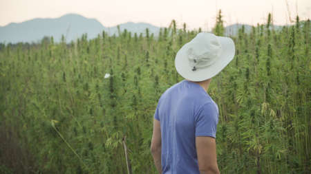 Professional researchers working in a hemp field, they are checking plants and doing a quality control, alternative medicine and cannabis sativa production concept