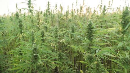Marijuana plants at outdoor cannabis farm field. Hemp plants used for CBD and health Reklamní fotografie