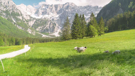 Flock of sheep grazing the grass in the mountains. Eco farm organic products concept