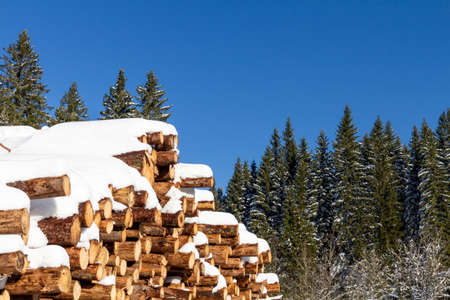 Forest pine trees log trunks felled by the logging timber industry covered with snow in winter Stock Photo