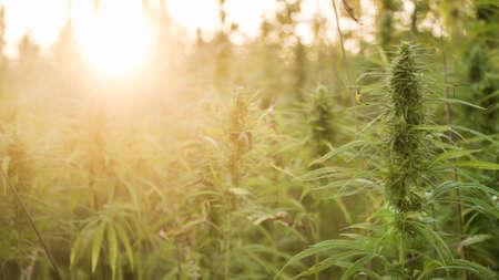 Marijuana plants at outdoor cannabis farm field. Hemp plants used for CBD and health Stock Photo