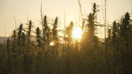 Silhouette of marijuana plants at outdoor cannabis farm field in sunset and sun behind plants. Hemp plants used for CBD and health