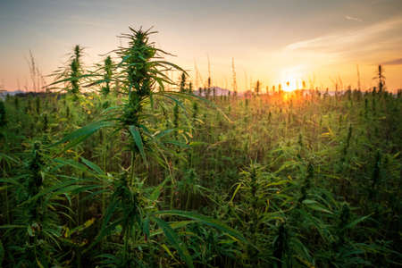 Cannabis plants on field. Industrial Hemp farm. Medical marijuana.