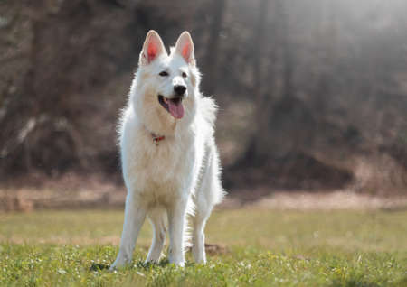 White Swiss Shepherd Dog on a green meadow in nature.