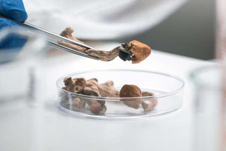 Scientist with tweezers puts magic mushrooms in a petri dish in laboratory. Reklamní fotografie