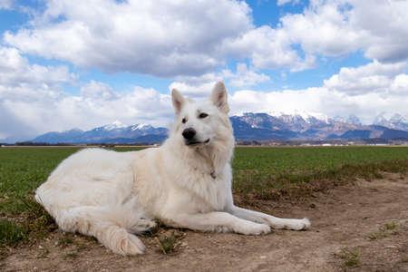 White Swiss Shepherd Dog on a field outside. Adult berger blanc breed. Reklamní fotografie