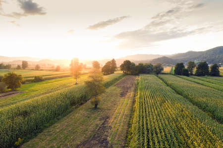 Green corn field at sunset from aerial view.