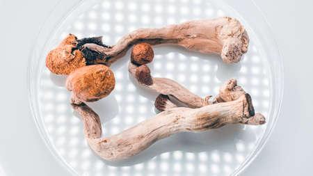 Magic Mushrooms in a petri dish. Psilocybin compound laboratory research.