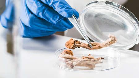 Scientist examining magic mushrooms with a loupe and tweezers in a petri dish at laboratory. 版權商用圖片