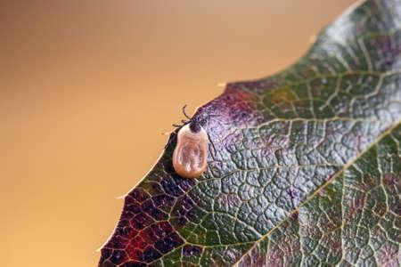 Engorged tick on a green leaf. Lyme disease caused by borrelia. 版權商用圖片