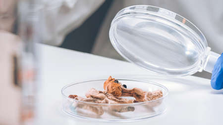 Scientist examining microdosing magic mushrooms with a loupe in a petri dish at laboratory.