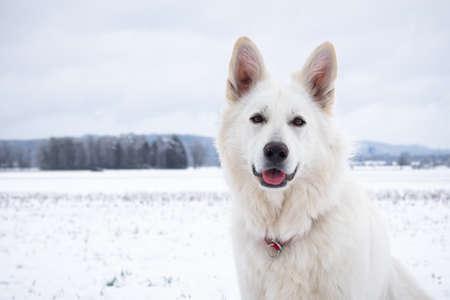 White Swiss Shepherd Dog on snow in winter. Adult berger blanc breed.