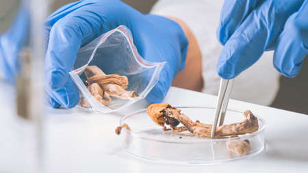 Magic Mushrooms in laboratory. Psilocybin science and research. Person examining fungi.