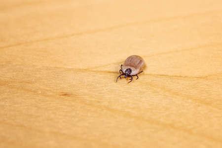 Engorged tick on wood. Lyme disease caused by borrelia.