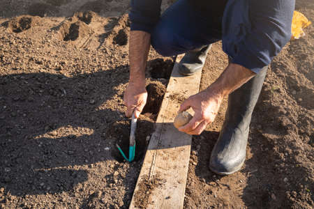 Overhead shot of Caucasian man squatting and planting potato into a hole in the ground, dug up with a garden hoe