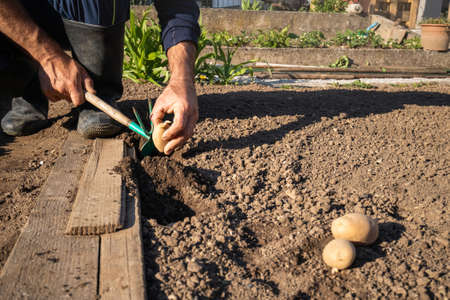 Caucasian man squatting in the field, and planting potato in a hole in the ground, digging with a garden hoe 版權商用圖片