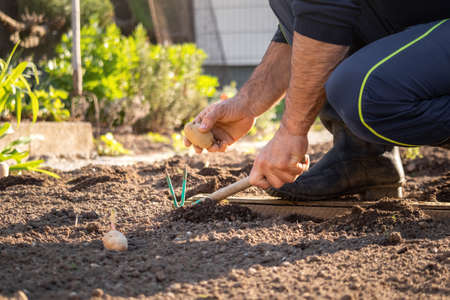 Close up of a Caucasian man squatting in the rubber boots, holding potato seed in one hand and garden hoe in the other