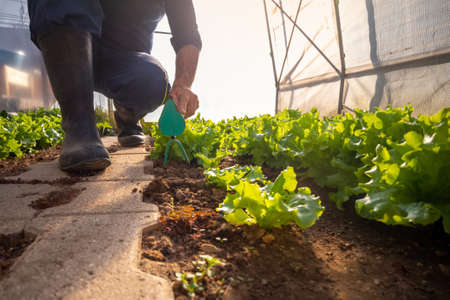 Ground angle shot of a garden hoe among the lettuce seedlings held by a caucasian man, in the greenhouse 版權商用圖片