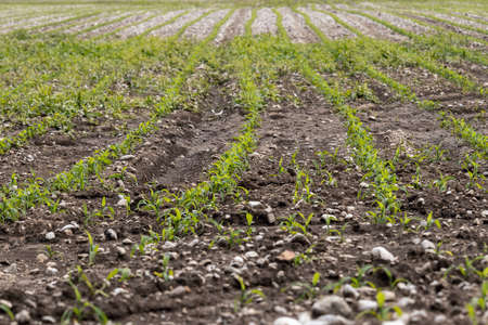 Young corn field at spring. Shallow depth of field