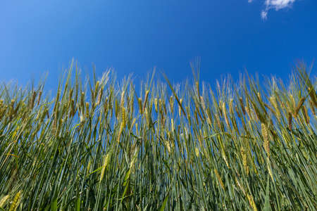 Green wheat field on a sunny day with blue sky.