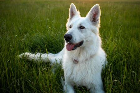White Swiss Shepherd Dog outdoor portrait in nature.