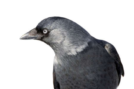 a curious gray jackdaw on a white background photo