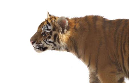 tiger cub: cub jeune tigre r�partie sur un fond blanc