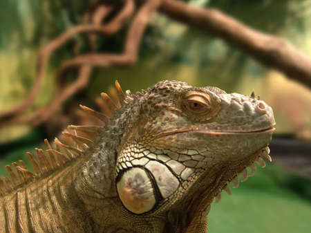insensitive: Iguana in terrarium. Close-up. Macro.         Stock Photo