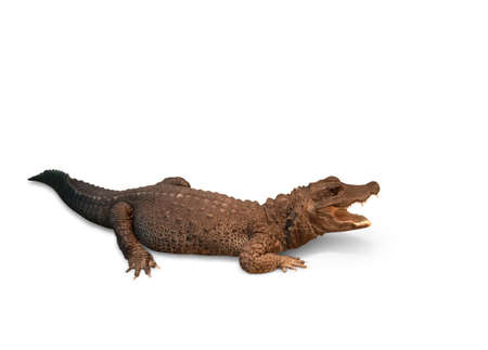 Crocodile on a white background. Osteolaemus tetraspis     Stock Photo